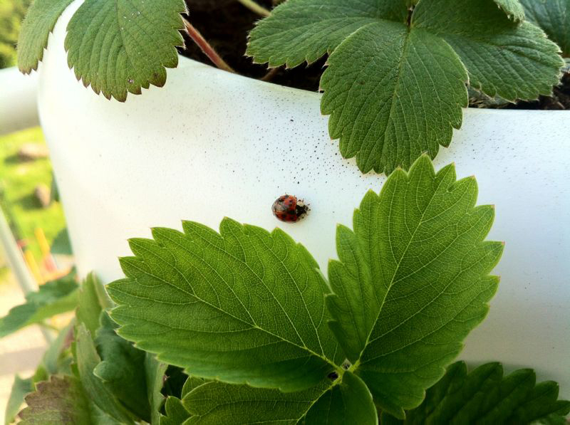 ladybug on Vertical garden tube