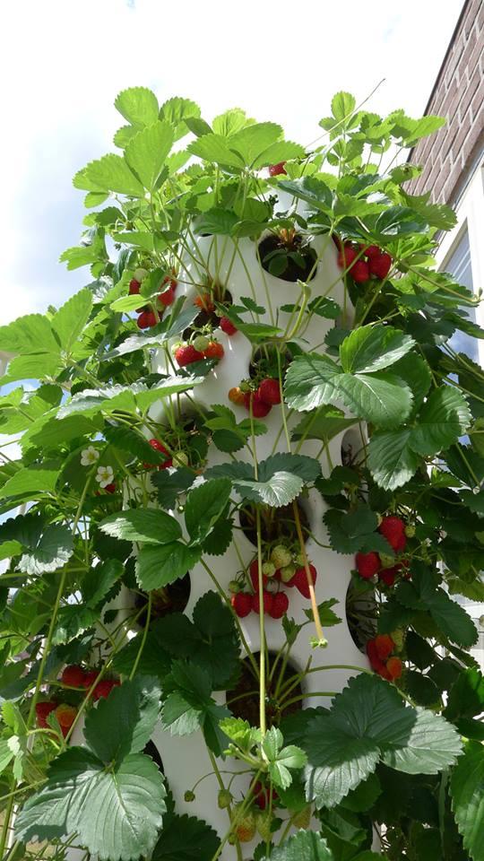verticalgardenstrawberries2july_1
