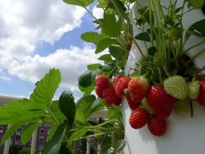 verticalgardenstrawberries2july_3