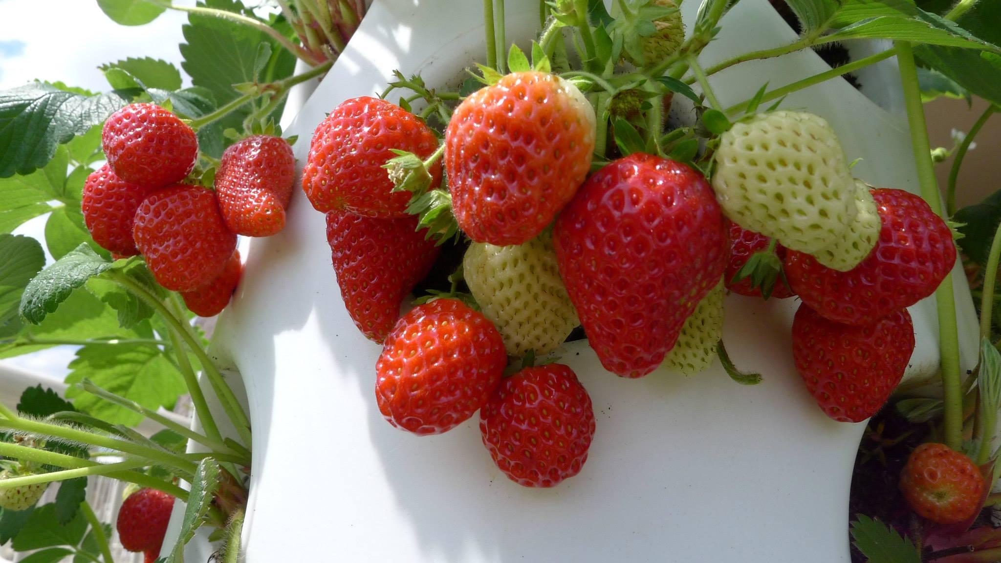 verticalgardenstrawberries2july_4