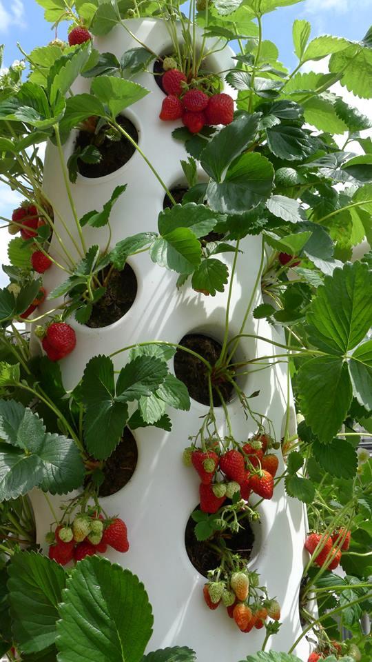 verticalgardenstrawberries2july_5