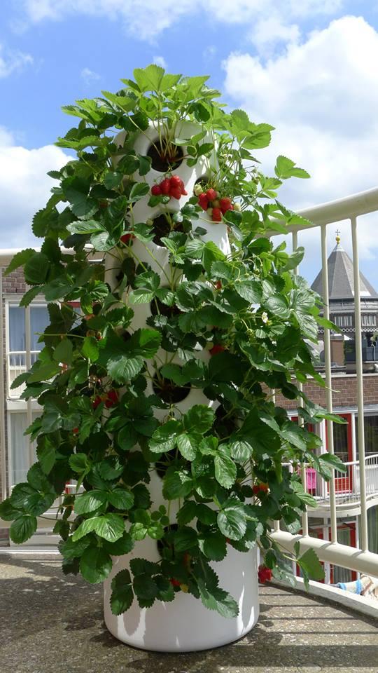 verticalgardenstrawberries2july_6