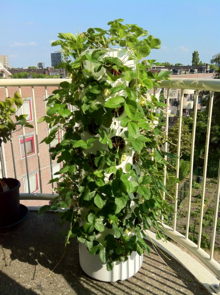 Vertical garden tube strawberries in june Garden tube