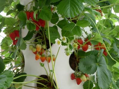 aardbeien verticaal kweken