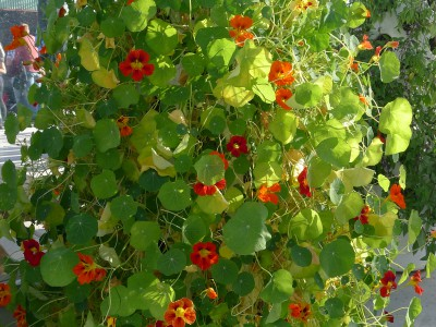 Vertical Gardening Edible Flowers
